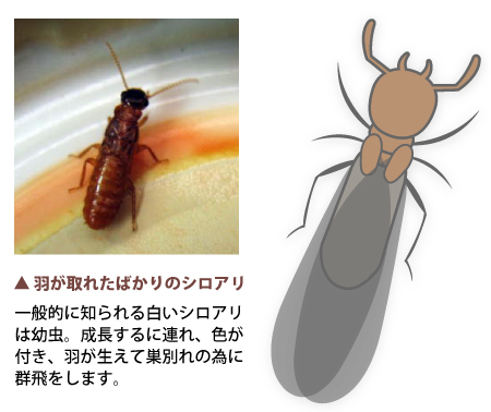シロアリの画像 p1_14